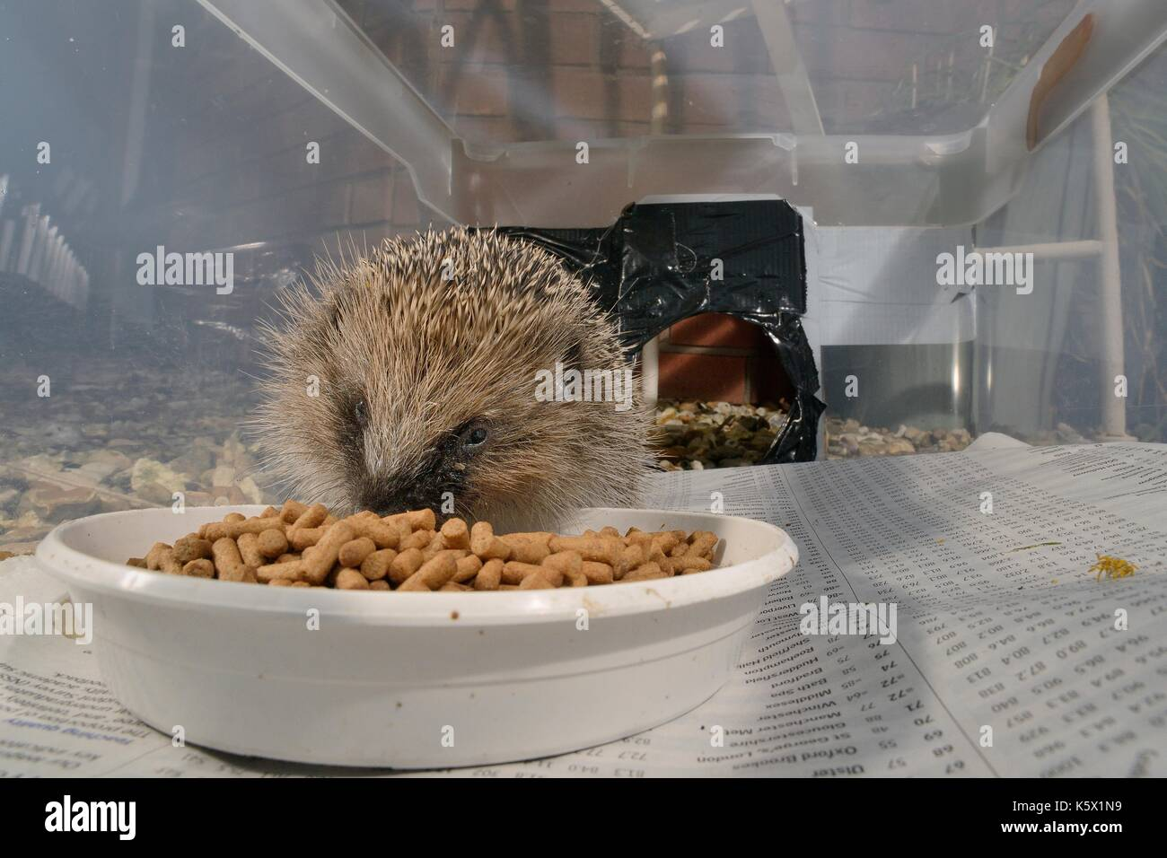 European Hedgehog (Erinaceus europaeus) feeding on hedgehog pellets in a hedgehog feeder box with a narrow entrance to exclude cats and foxes. - Stock Image