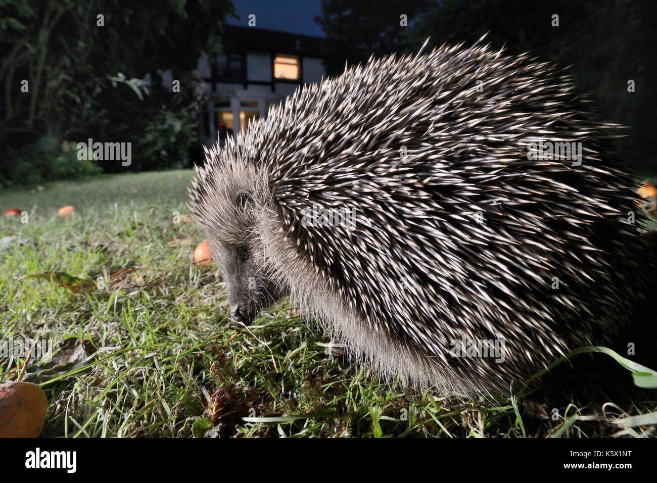 Hedgehog (Erinaceus europaeus) foraging on a lawn in a suburban garden at night, Chippenham, Wiltshire, UK, September.  Taken with a remote camera. - Stock Image