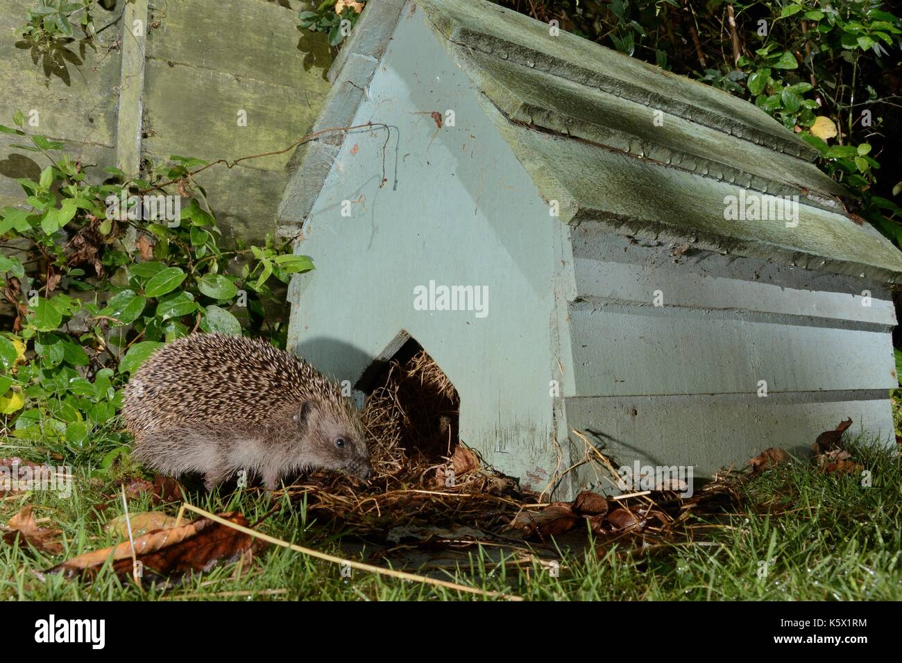 Hedgehog (Erinaceus europaeus) returning to a hedgehog house at night in a suburban garden, Chippenham, Wiltshire, UK. Taken with a camera trap. - Stock Image