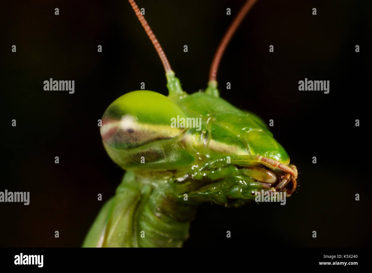 The European mantis (praying mantis) portrait - Stock Image