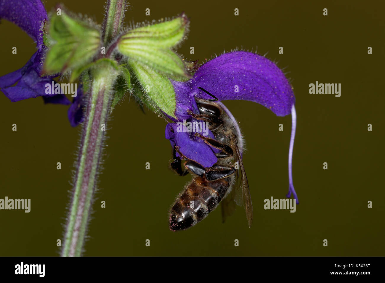 European honey bee pollinating meadow clary - Stock Image