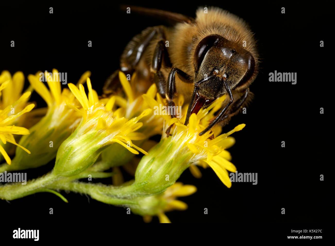European honey bee on the flower - Stock Image