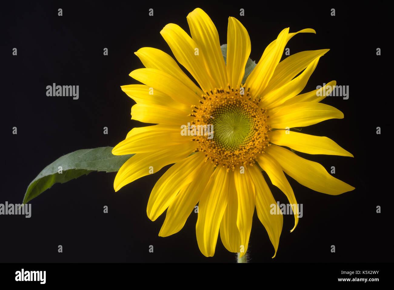 fibonacci flower stock photos fibonacci flower stock images alamy