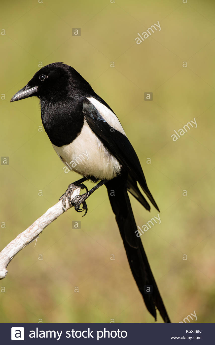Black-billed magpie perched in meadow - Stock Image