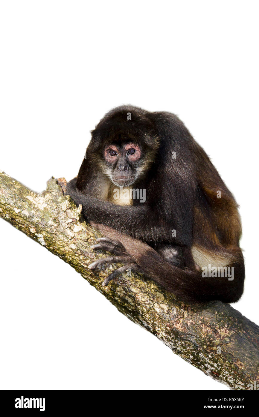 Geoffroy's spider monkey at the tree, Belize, Central America - Stock Image