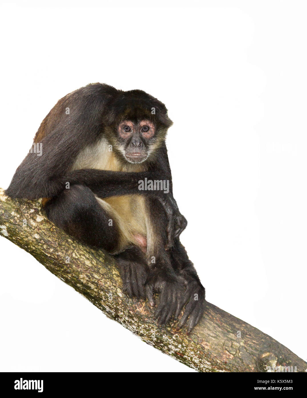 Geoffroy's spider monkey at the tree, cutout,  Belize, Central America - Stock Image