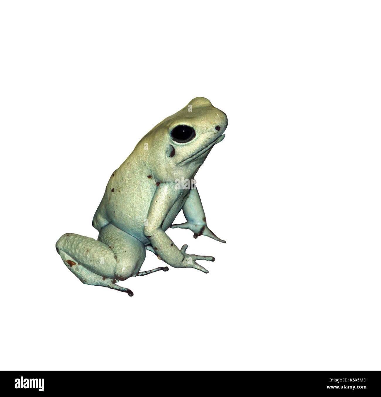 Dyeing poison dart frog isolated on white - Stock Image