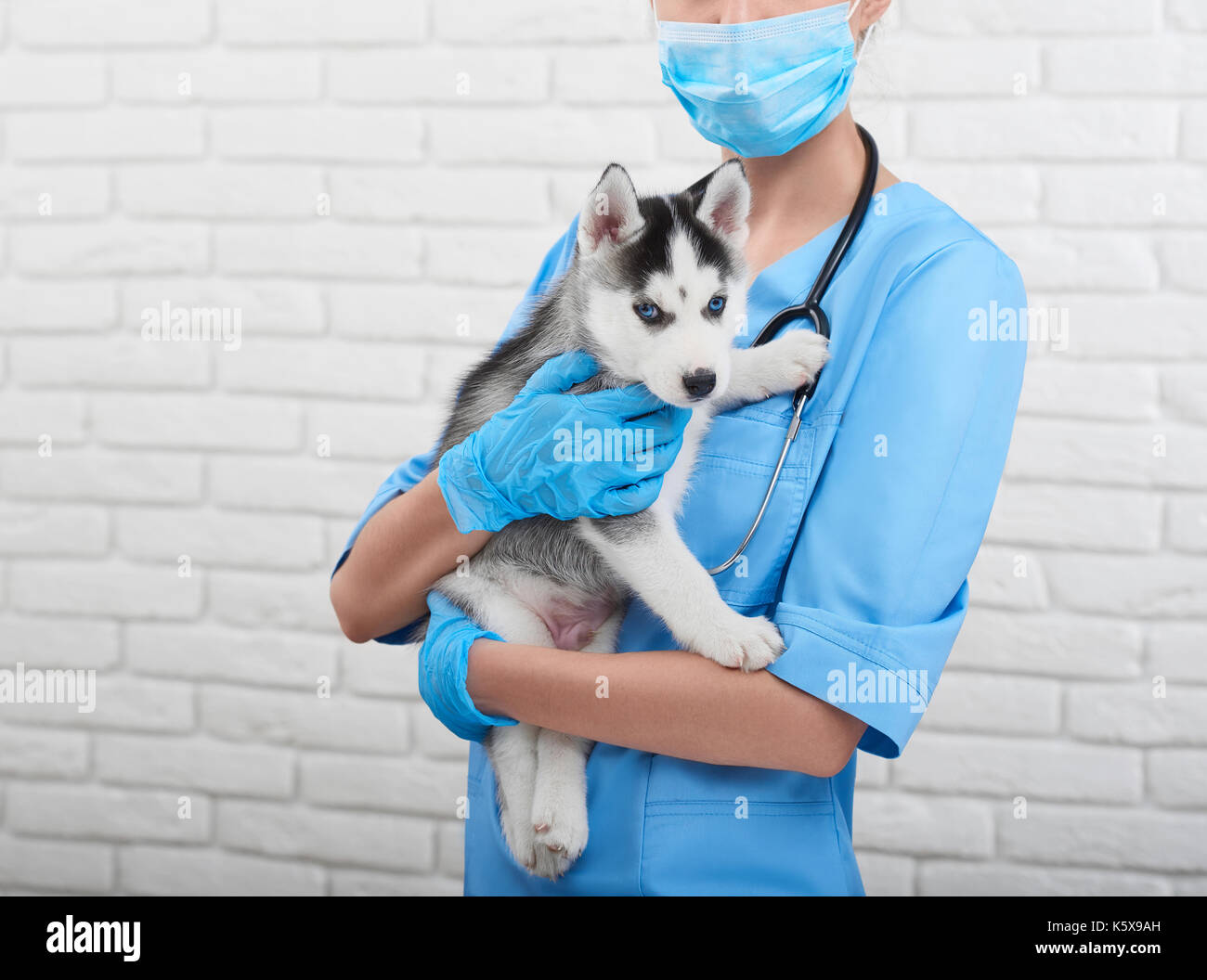 Veterinarian examining little husky puppy - Stock Image