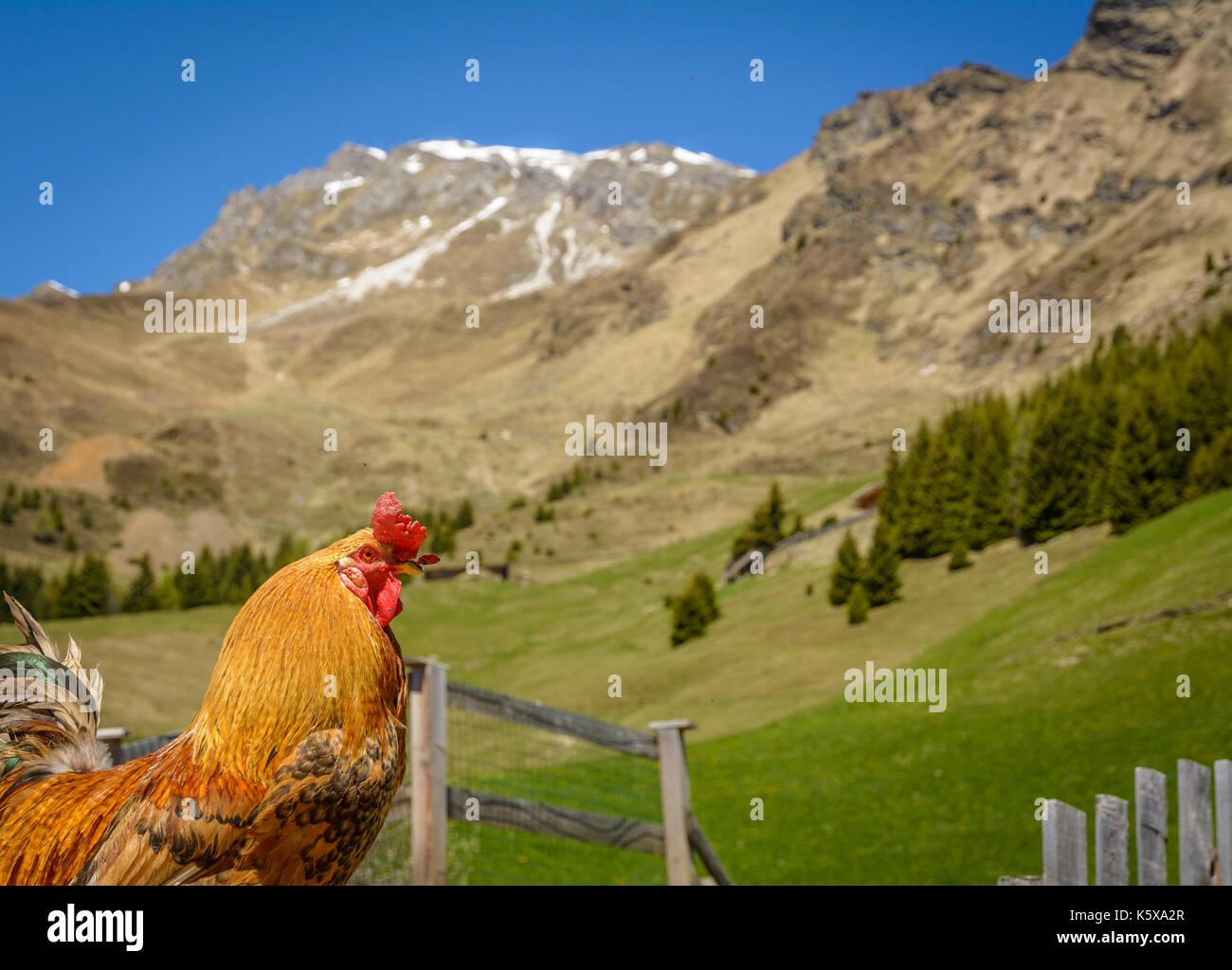 a red rooster isolated in a mountain village in the background, South Tyrol, Trentino Alto Adige, Ridanna valley, italy - Stock Image