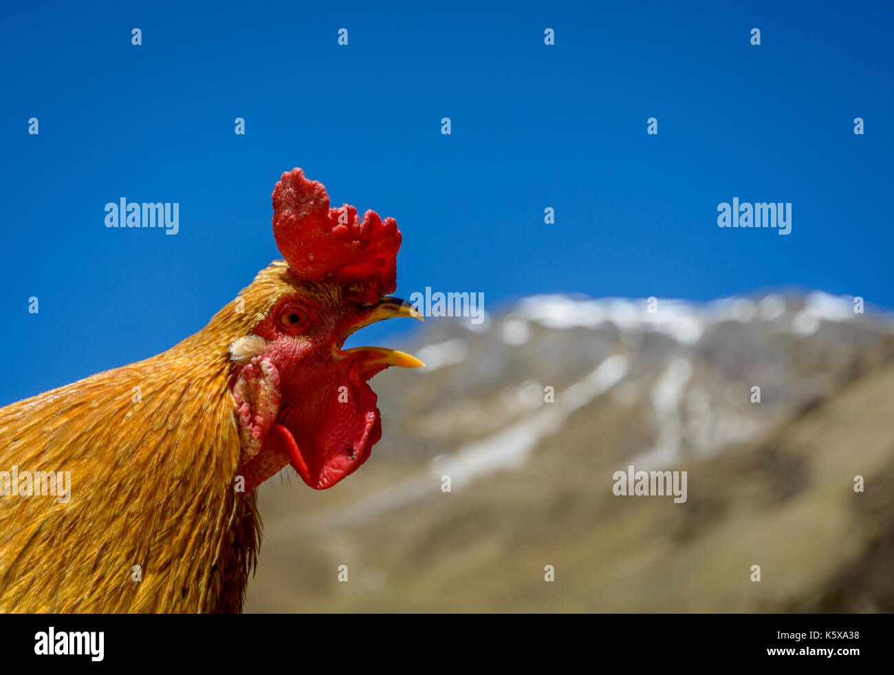 a red rooster sings the song on the farm in mountain - Stock Image