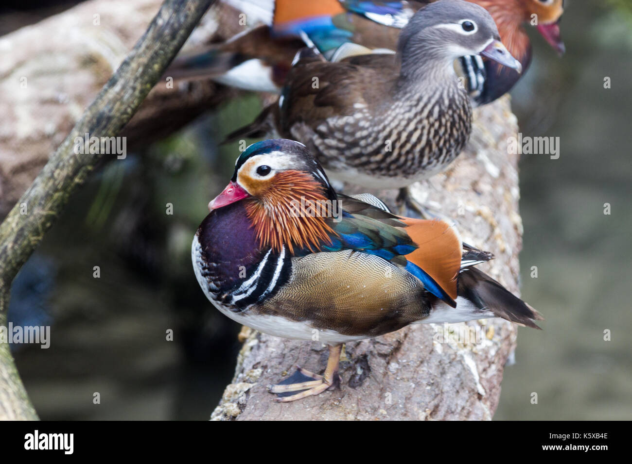 Graceful Male Mandarin Duck, on a dried log above the lake - Stock Image