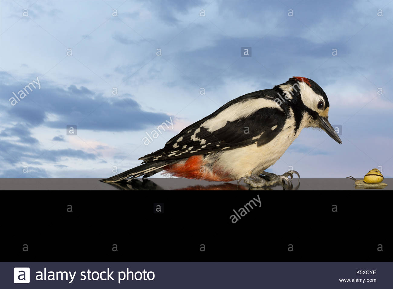 Woodpecker and the Snail. Specht und die Schnecke. - Stock Image