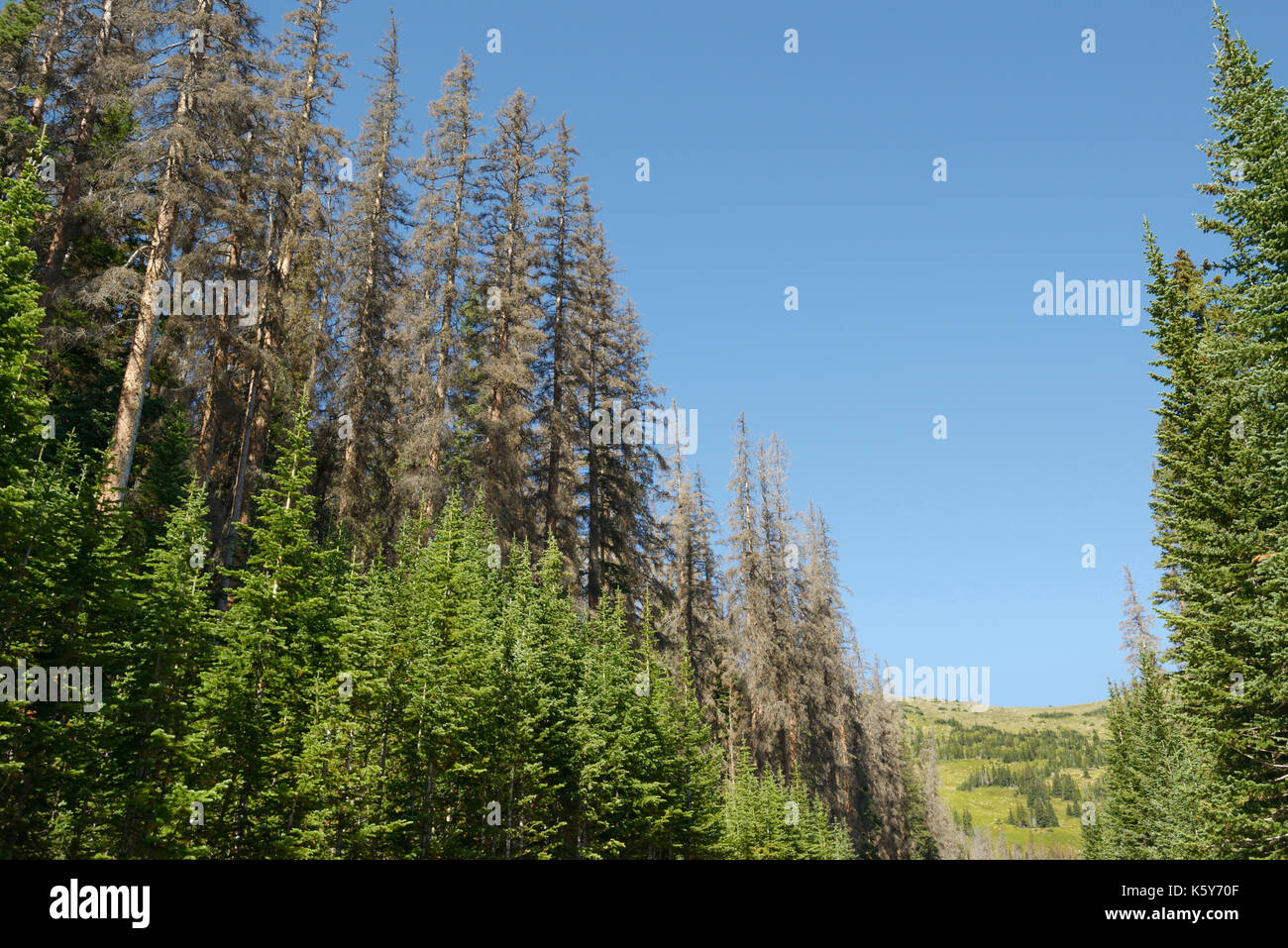 Spruce trees damaged and killed by spruce beetle, Dendroctonus rufipennis, Rocky Mountain National Park, Colorado - Stock Image