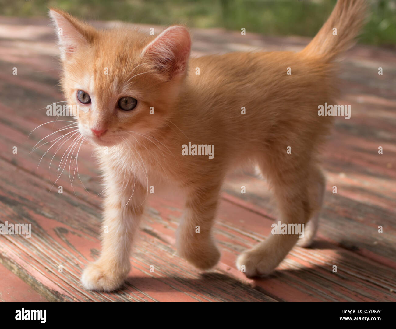 Orange Kitten With Stripes And Blue Eyes Exploring