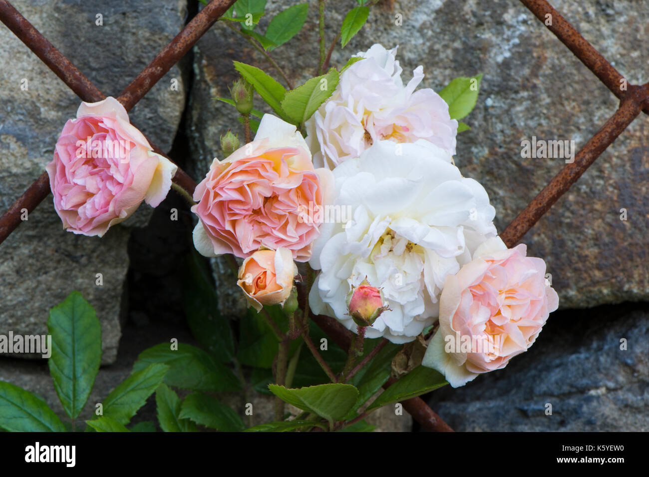 Beautiful, private, traditional, country garden, West Yorkshire, England, UK - summer flowering plants (pale pink roses) in close-up on metal trellis. - Stock Image