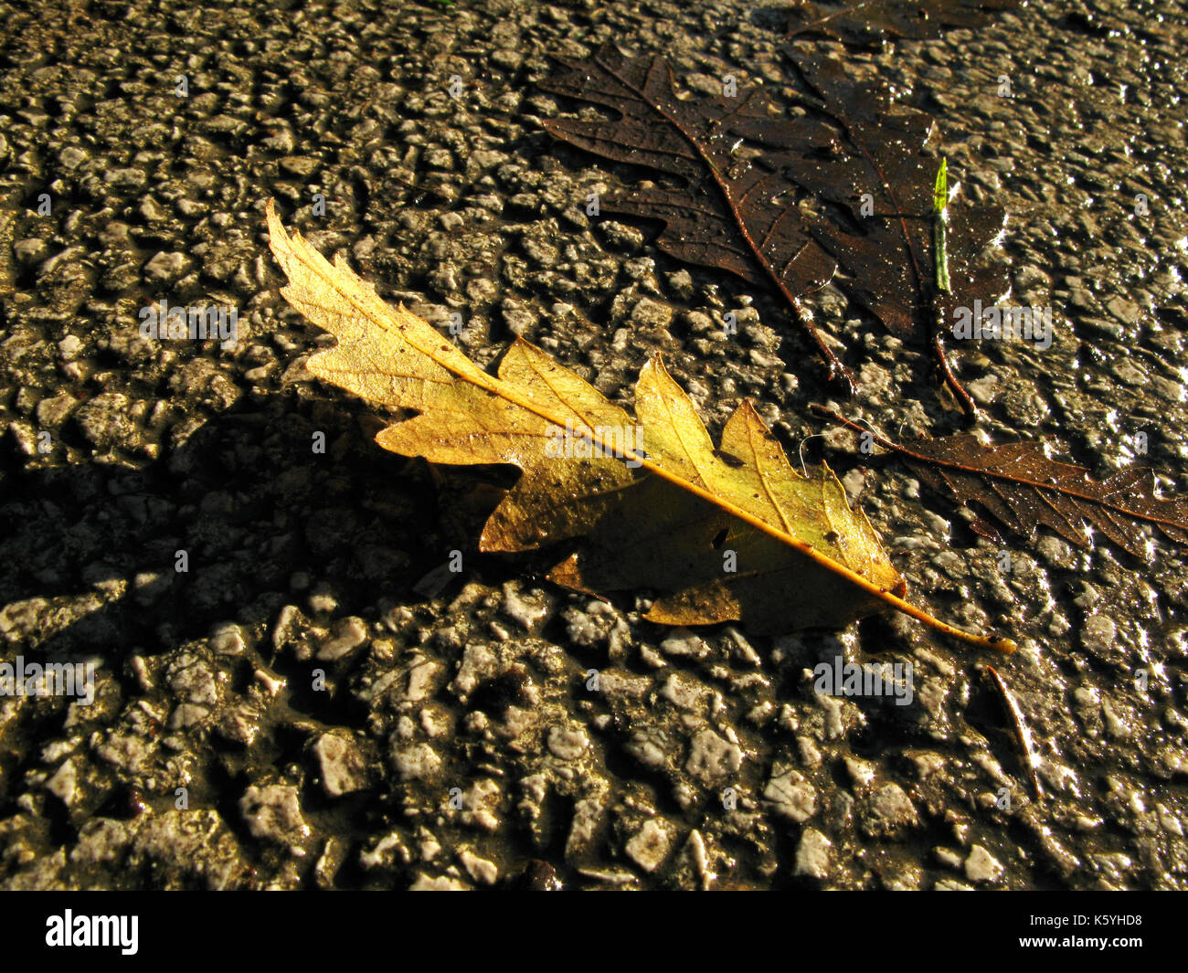 Oak leaf fallen from tree on wet gournd in autumn / fall Stock Photo