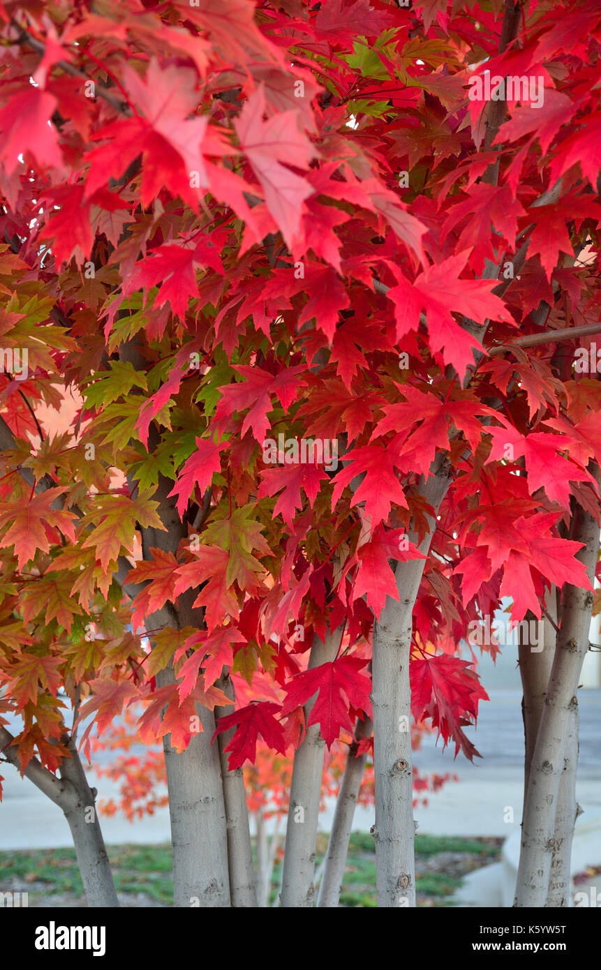 Bright red Birch leaves during the Fall season. - Stock Image