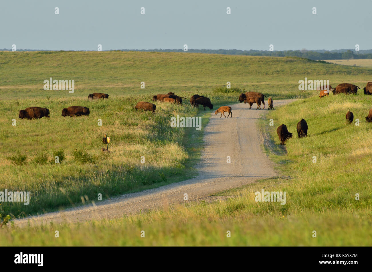 American Bison herd crossing a gravel road in Oklahoma's Tallgrass Prairie Preserve. Stock Photo