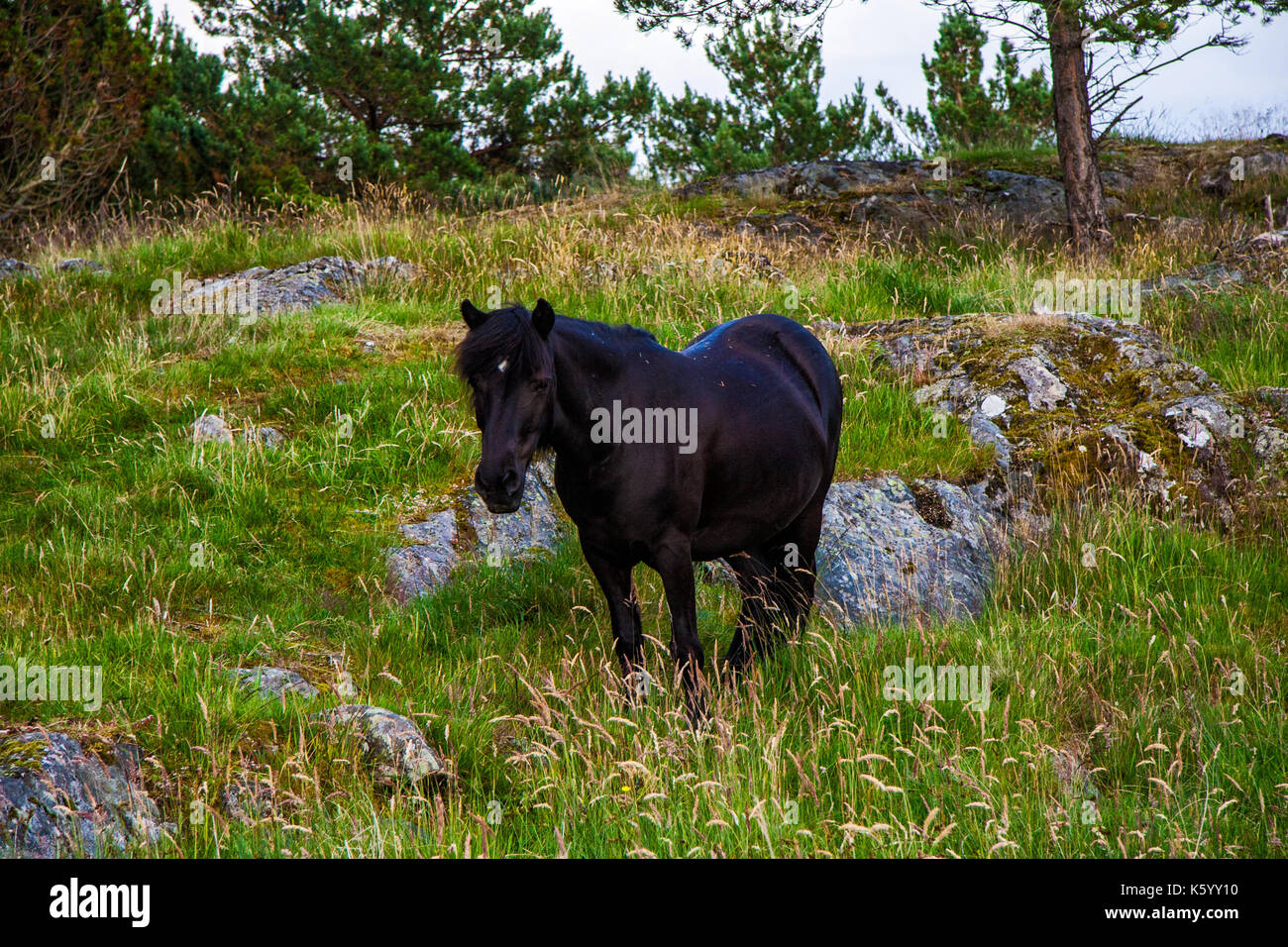 Wild black horse in mountain of norway - Stock Image