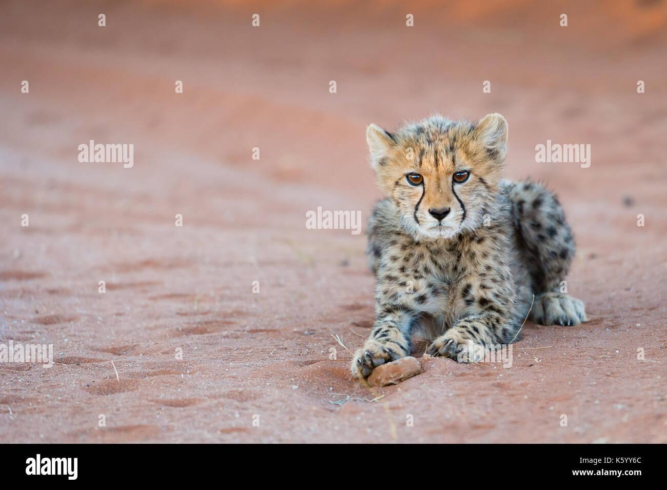 Cheetah Cub - Stock Image