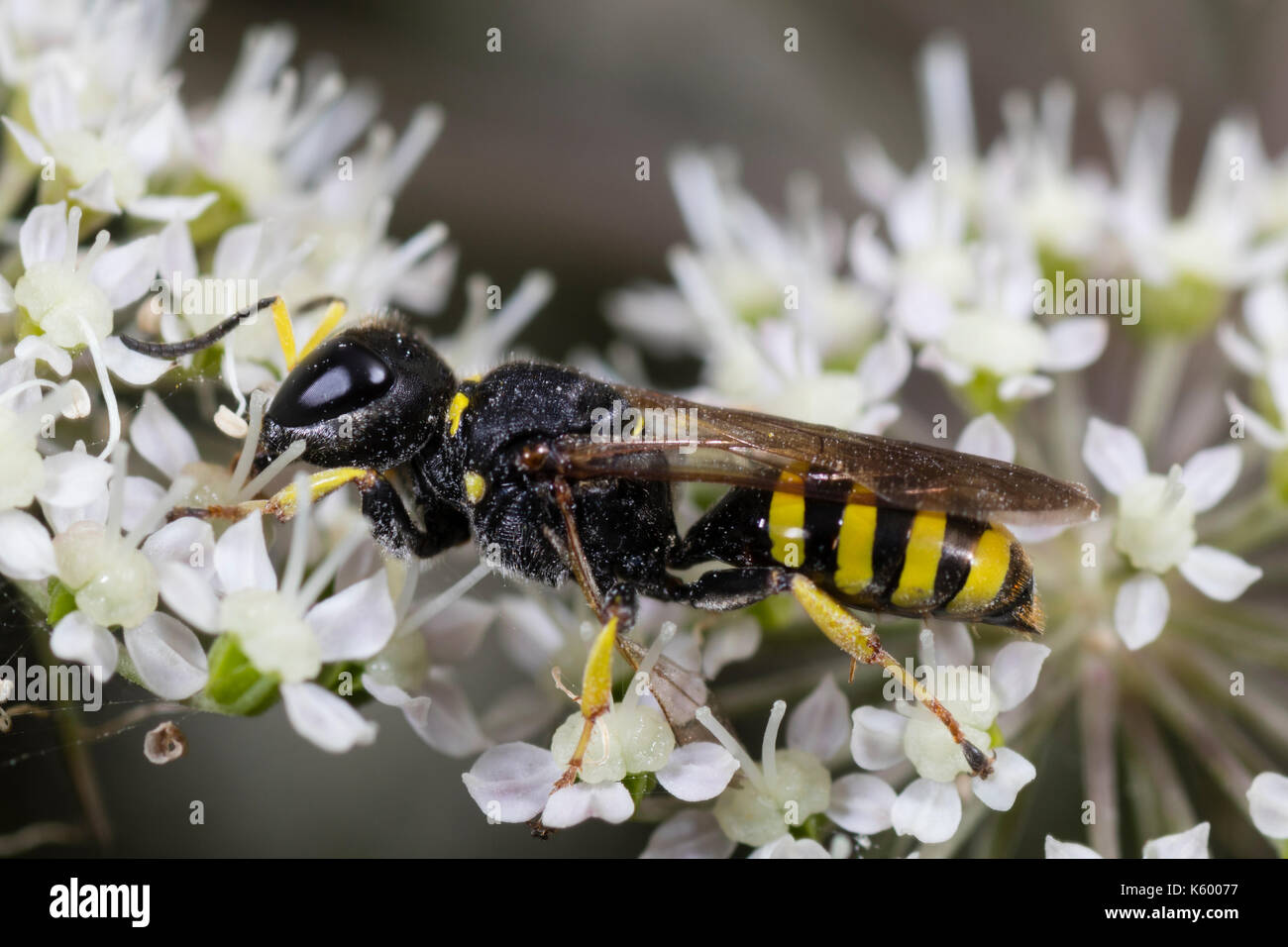Female of the sand wasp, Ectemnius lituratus, a summer flower visitor in Southern England - Stock Image