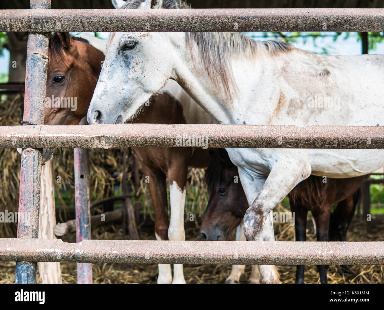 Horses boarded behind worn concrete fence in Cuba - Stock Image