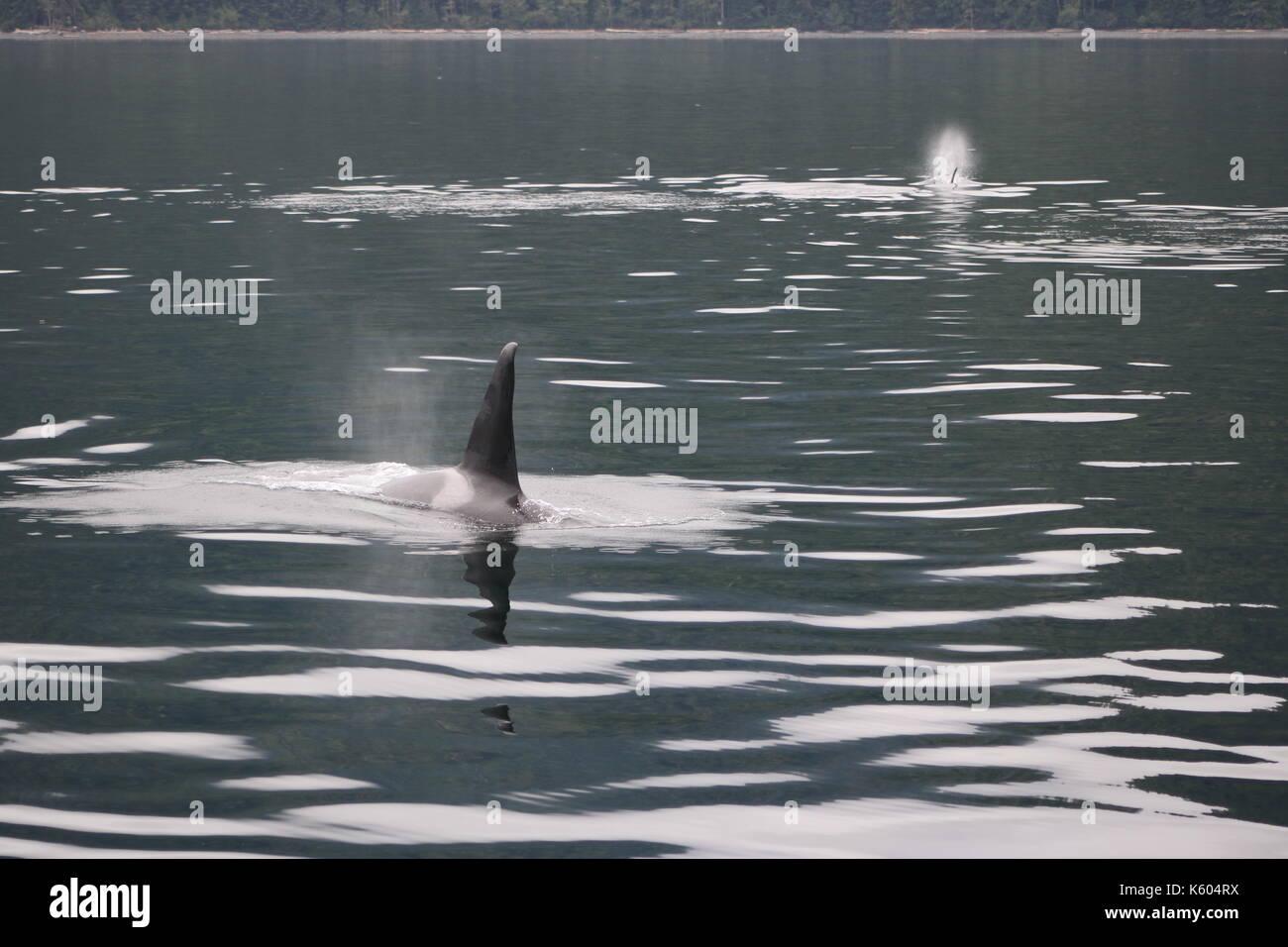 Orcas in British Columbia - Stock Image