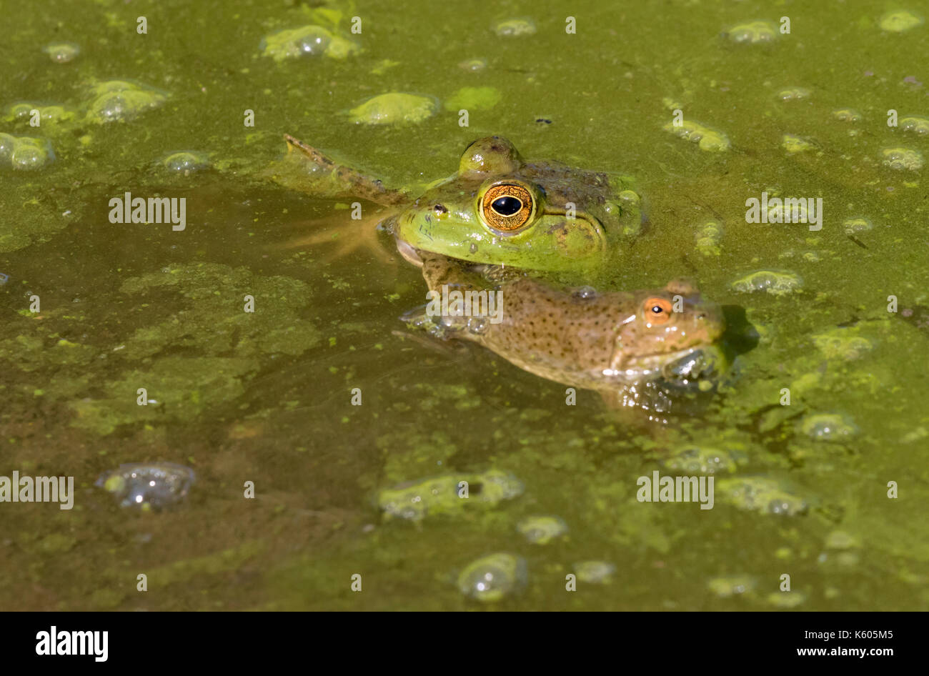 American bullfrog (Lithobates catesbeianus) attacking a young green frog (Rana clamitans) in a forest swamp, Ames, Iowa, USA - Stock Image