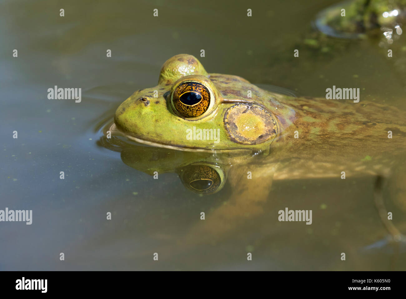 American billfrog (Lithobates catesbeianus) submerged in water in a forest lake, Ames, Iowa, USA - Stock Image