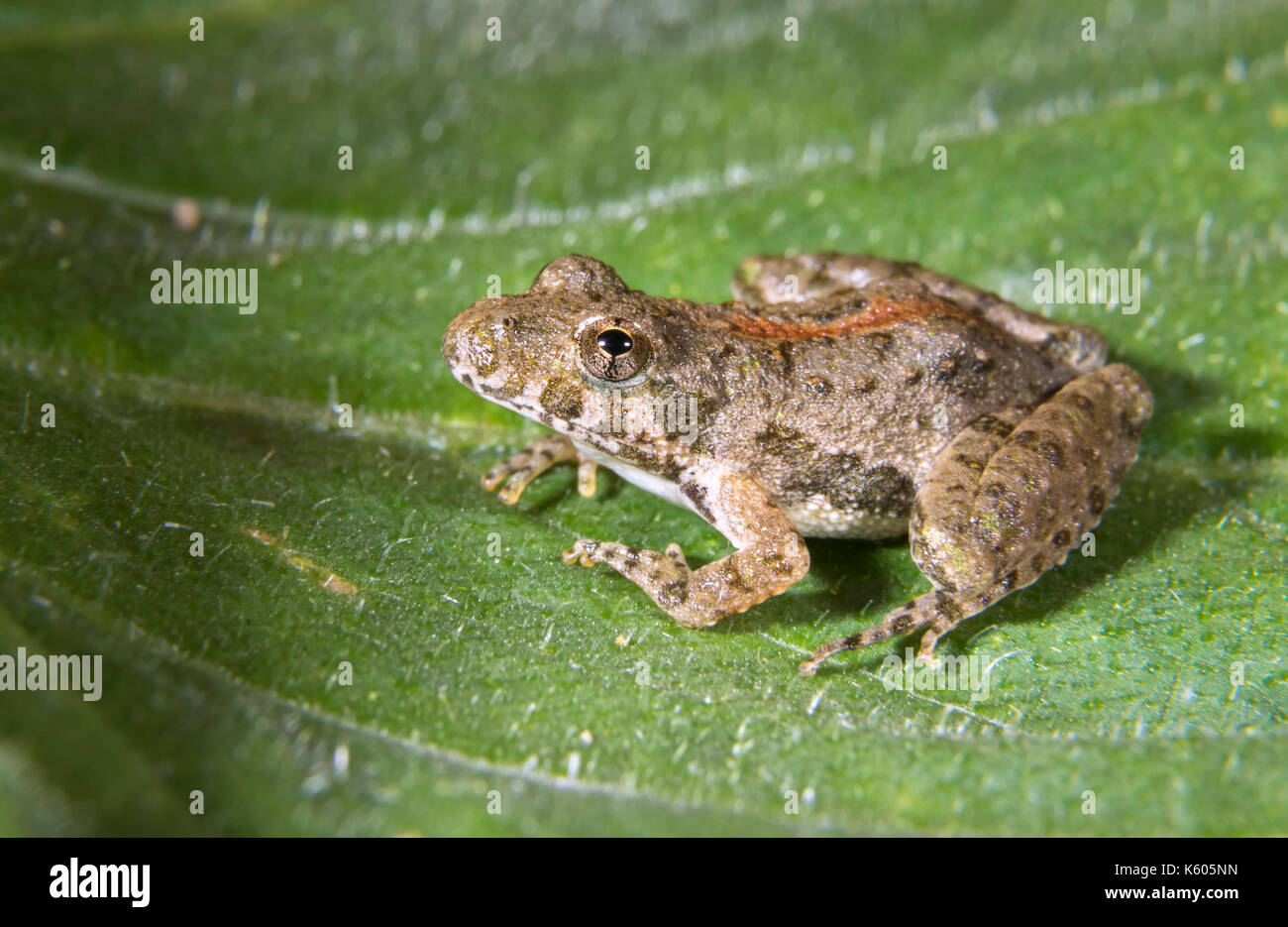 Blanchard's Northern Cricket Frog (Acris crepitans blanchardi) on a leaf, Ames, Iowa, USA - Stock Image