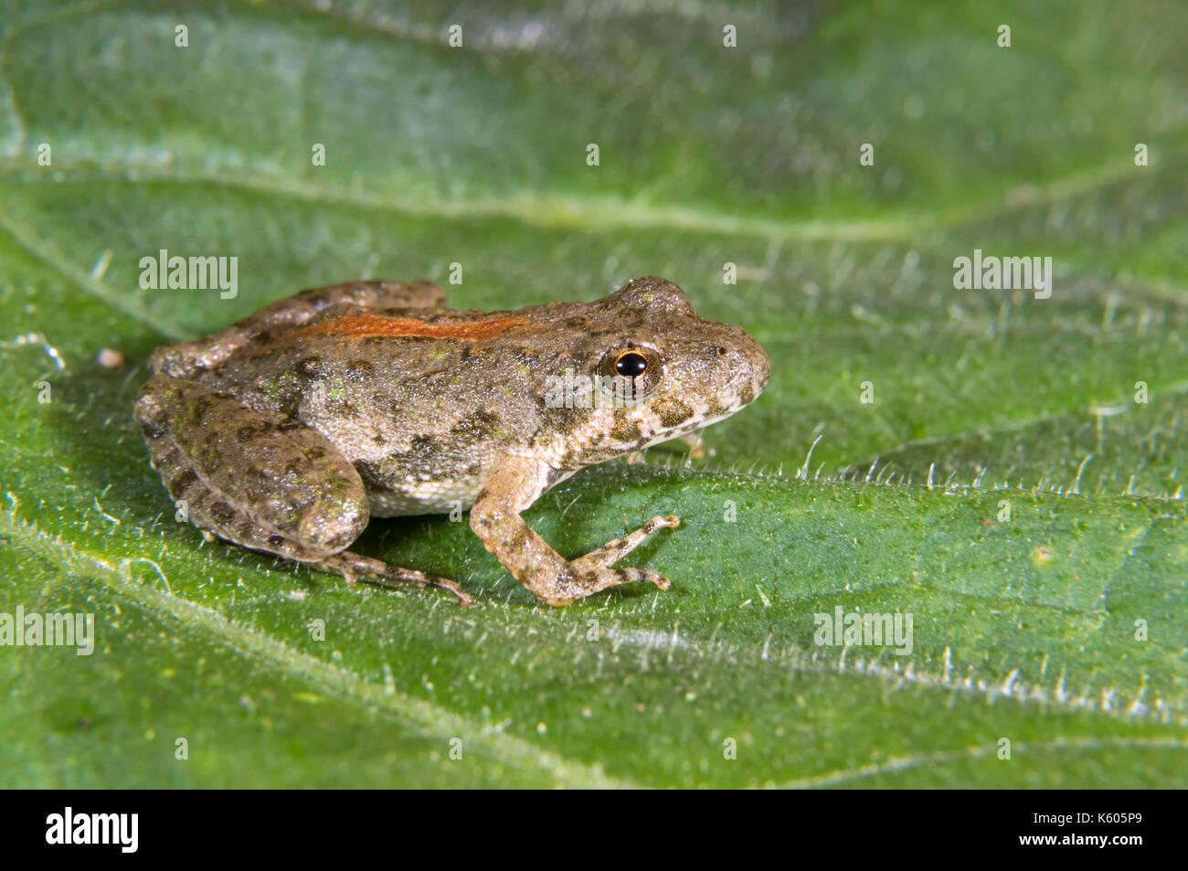 Blanchard's Northern Cricket Frog (Acris crepitans blanchardi) on a leaf, Ames, Iowa, USA Stock Photo