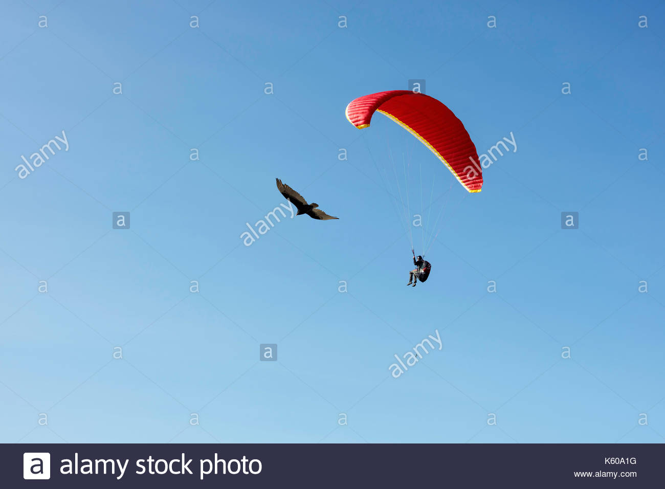Turkey Vulture paragliding paraglider kiting flying soaring airfoil thermal wind Scarborough Bluffs Toronto Ontario Canada - Stock Image