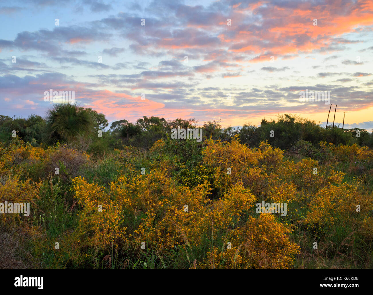 Wattle growing in Star Swamp Reserve Reserve suburban bushland - Stock Image