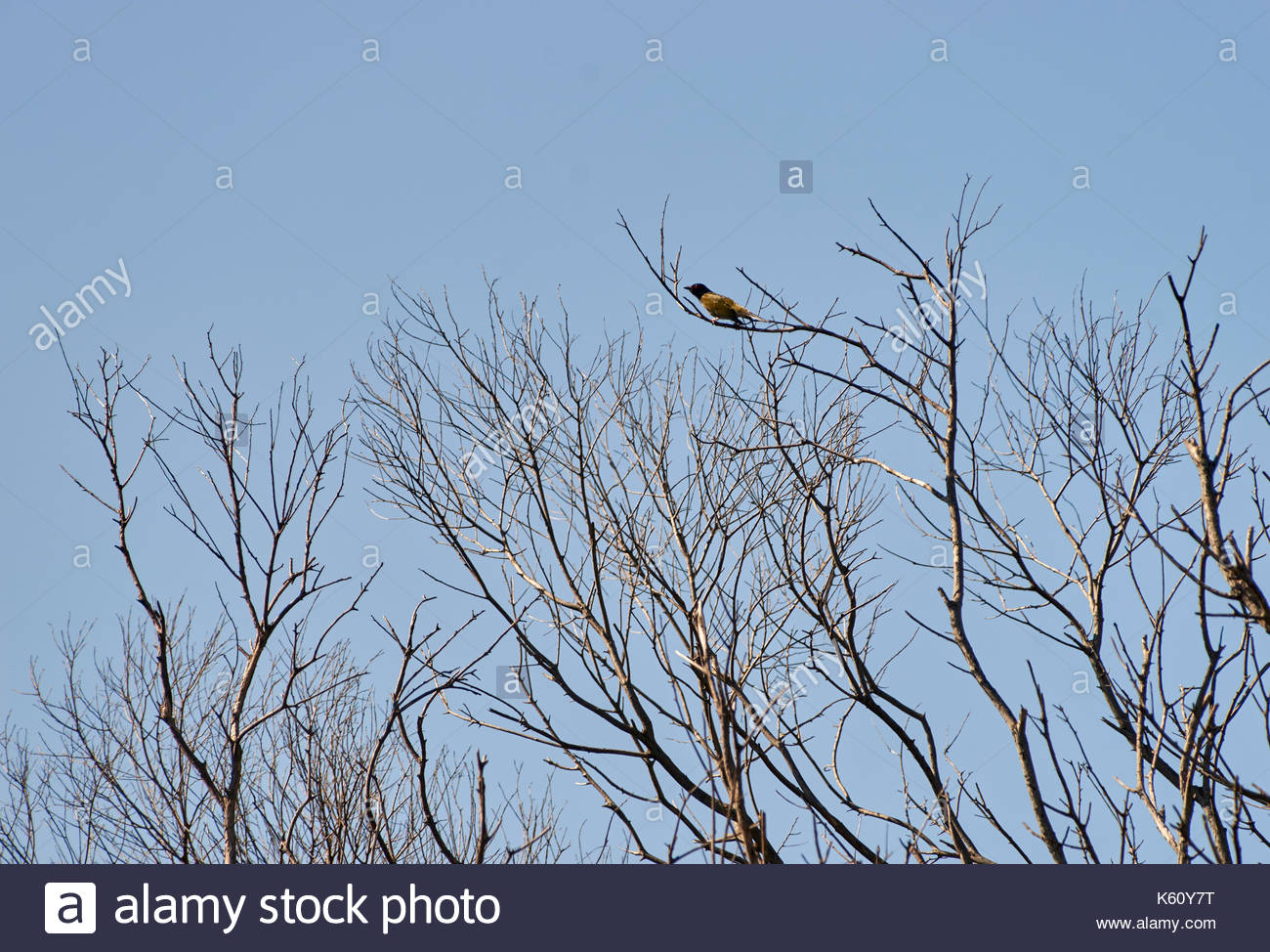 An Australasian figbird(Sphecotheres vieilloti) perched on the highest branch of a thicket of leafless bare trees, with a pale blue-sky background. - Stock Image