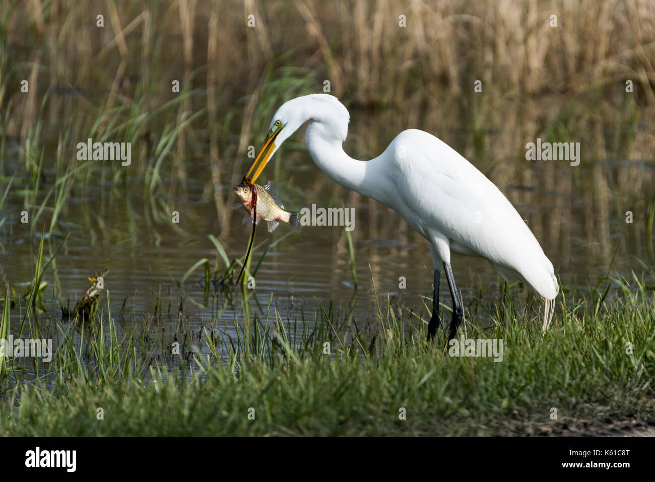 Great Egret eating a fish at the water's edge. - Stock Image