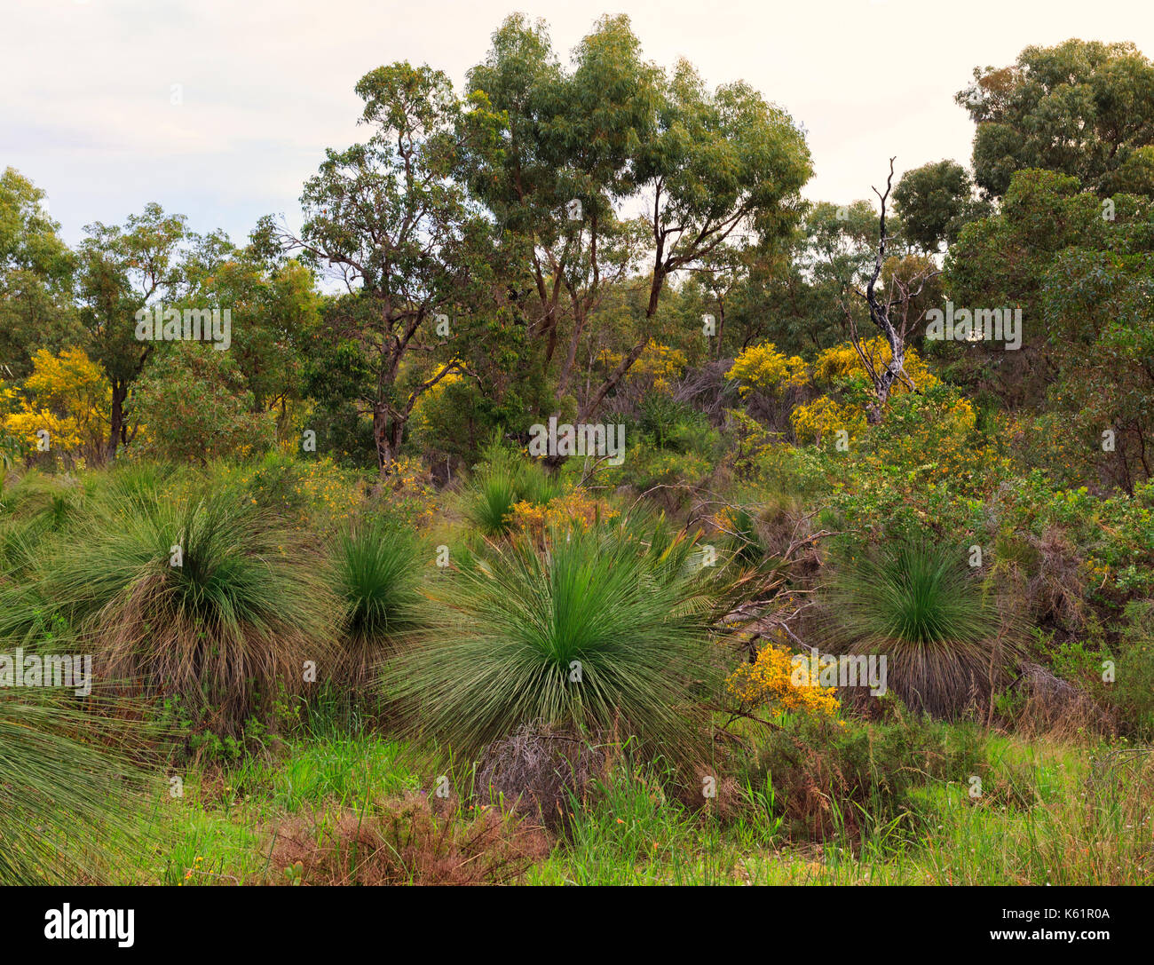 Grass trees and wattle Star Swamp Reserve suburban bushland - Stock Image