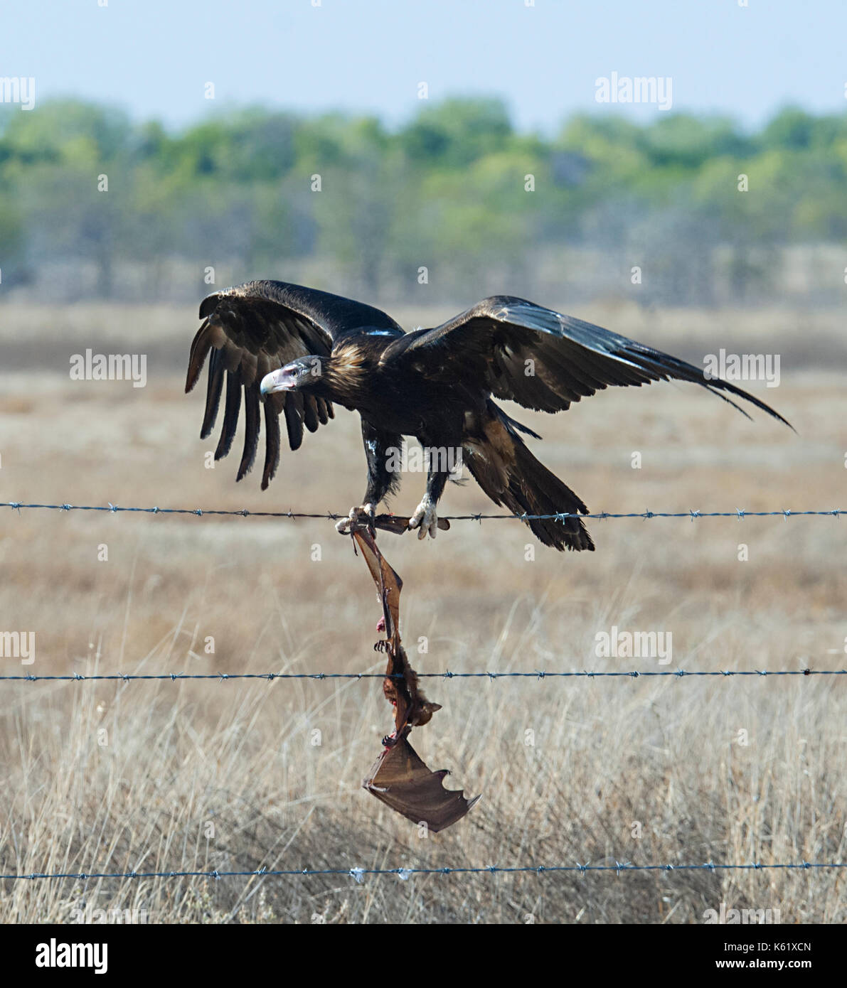 Wedge-tailed Eagle (Aquila audax) with a dead bat entangled in barbed wire, Queensland, QLD, Australia - Stock Image