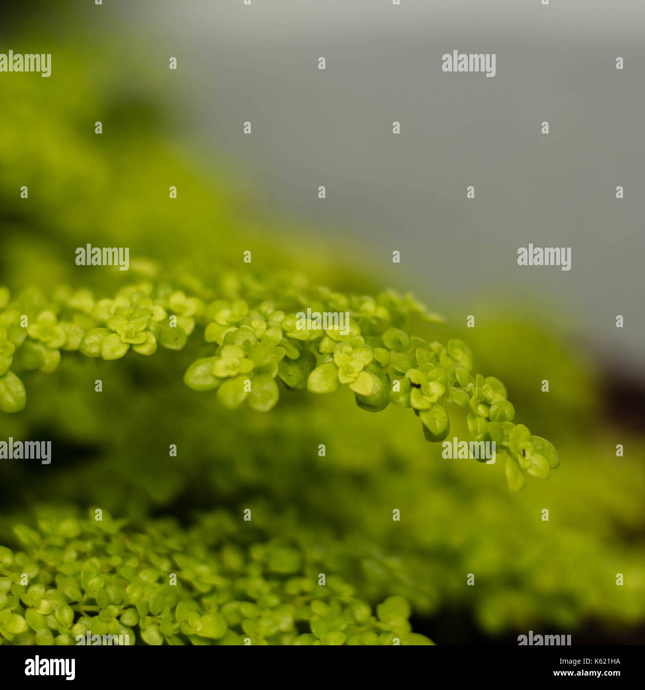 Small green leaves - Stock Image