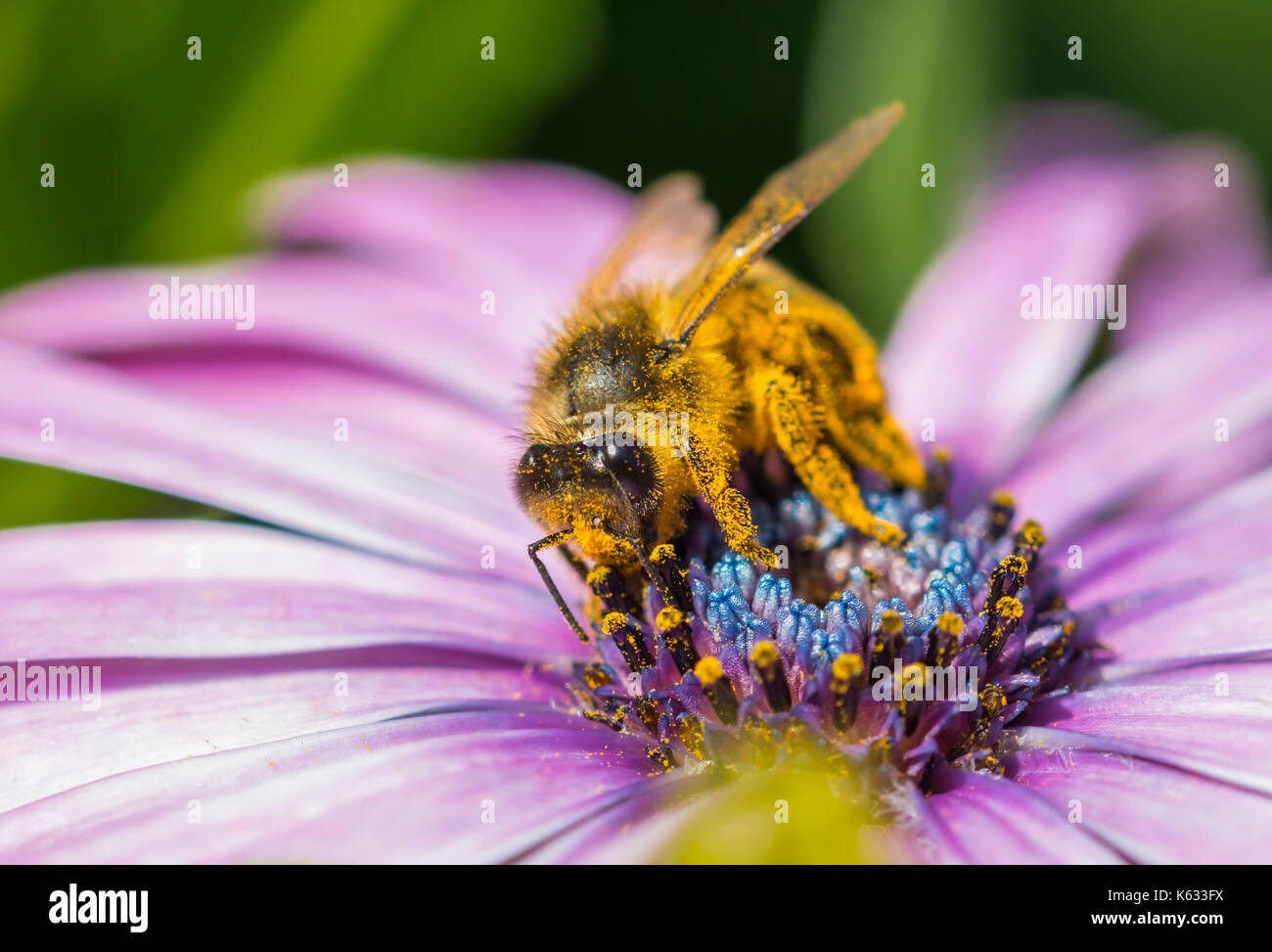 Honey Bee (Apis mellifera) on a Osteospermum ecklonis (African daisy) collecting nectar / pollinating the flower, in West Sussex, England, UK. - Stock Image