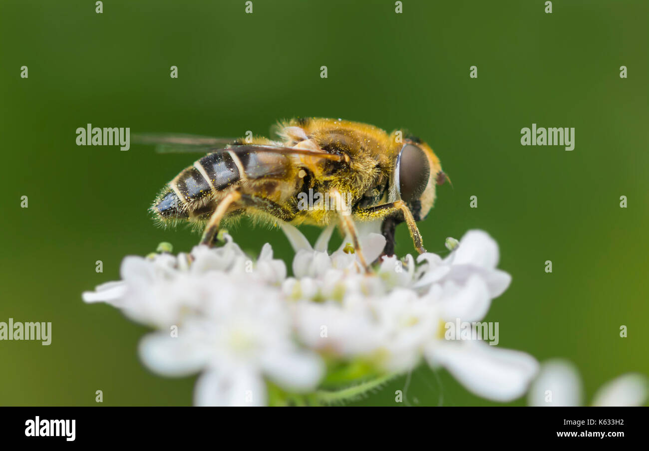 Apis mellifera (Honey Bee) on a white flower in early Autumn in West Sussex, England, UK. Honey bee macro. Honeybee closeup. - Stock Image