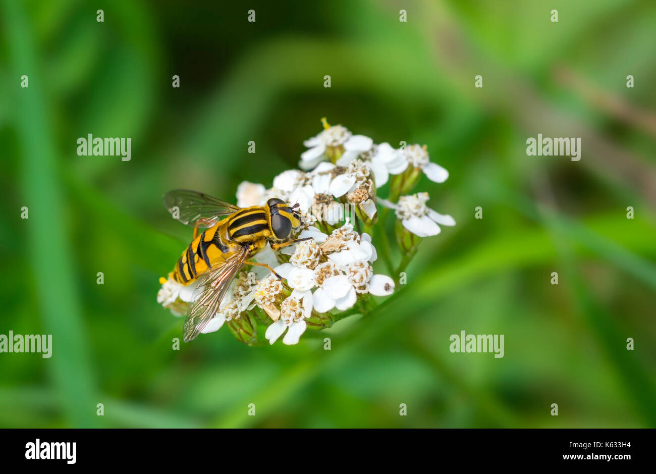 Helophilus pendulus (European Hoverfly) AKA The Footballer, The Sunfly, Common Tiger Hoverfly, on a flower in early Autumn in West Sussex, England, UK - Stock Image