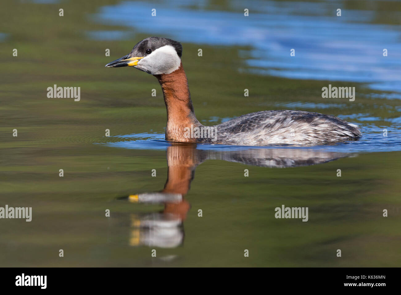 Red-necked Grebe (Podiceps grisegena), adult swimming in a lake - Stock Image