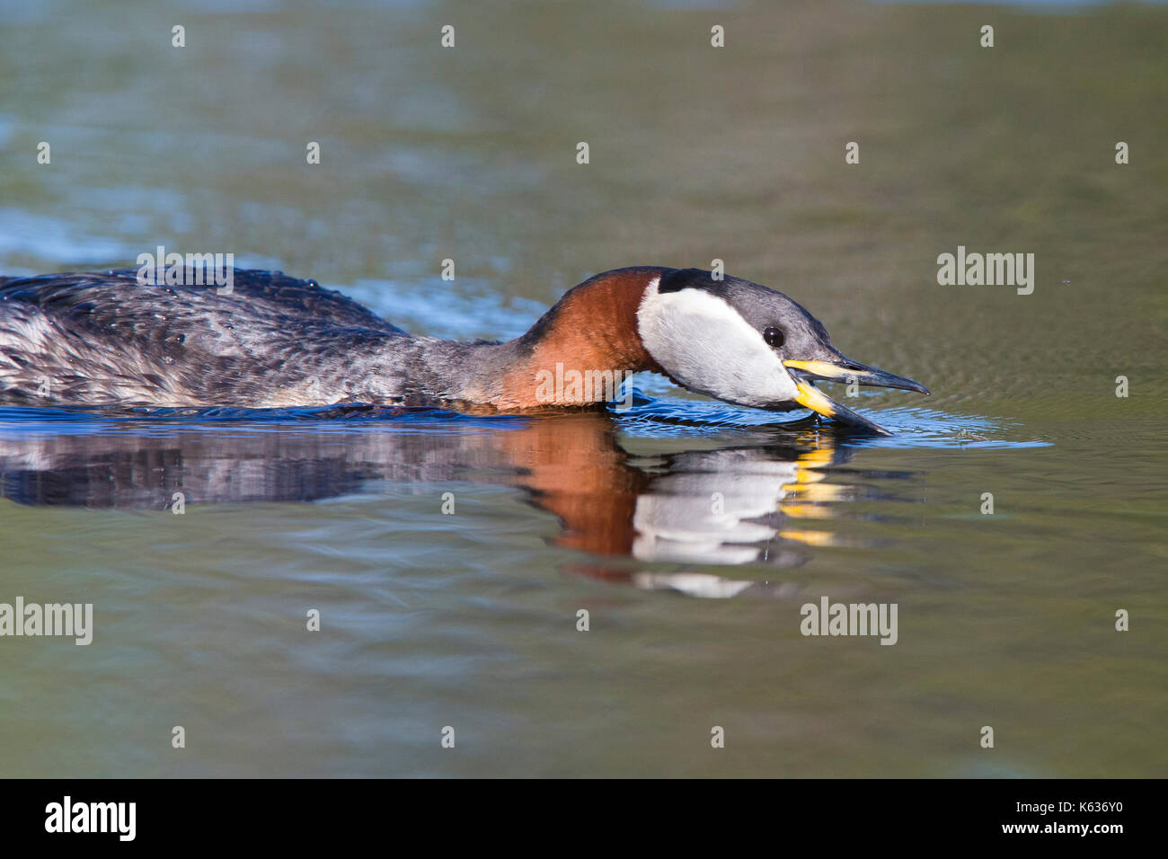 Red-necked Grebe (Podiceps grisegena), adult catching a mosquito on water surface - Stock Image