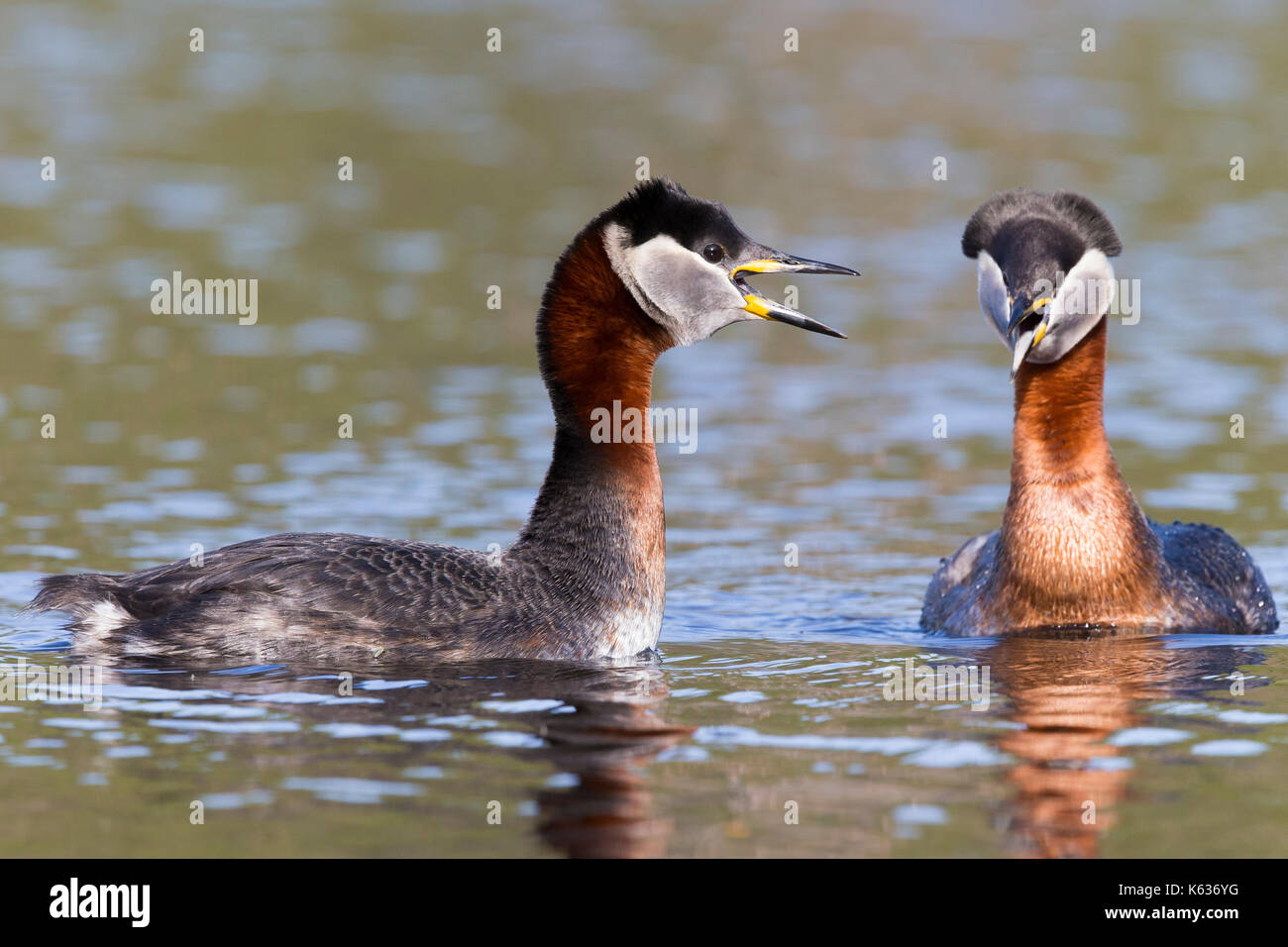 Red-necked Grebe (Podiceps grisegena), couple displaying in the water - Stock Image