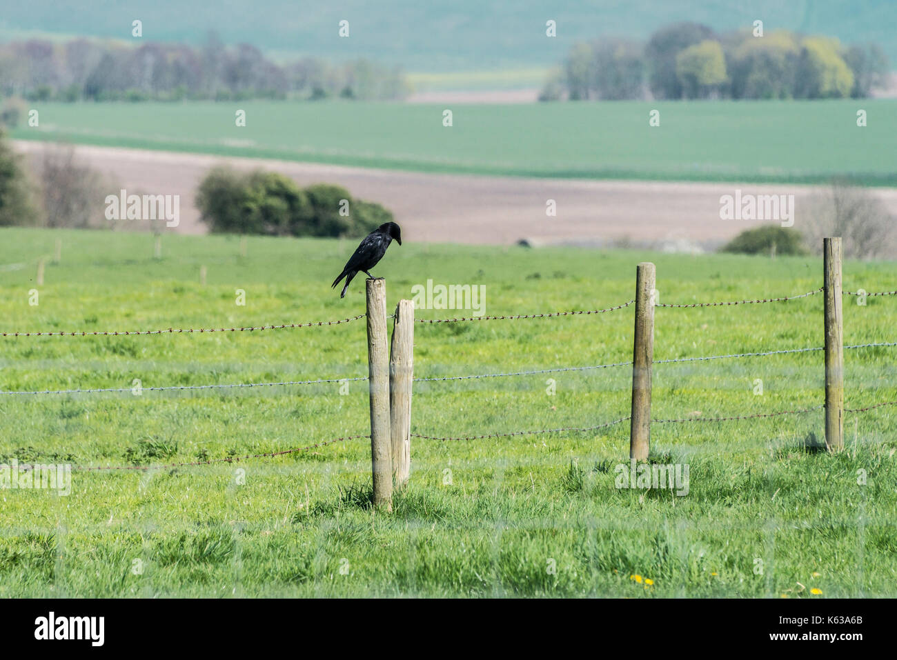 A carrion crow (Corvus corone) perched on a fence post - Stock Image