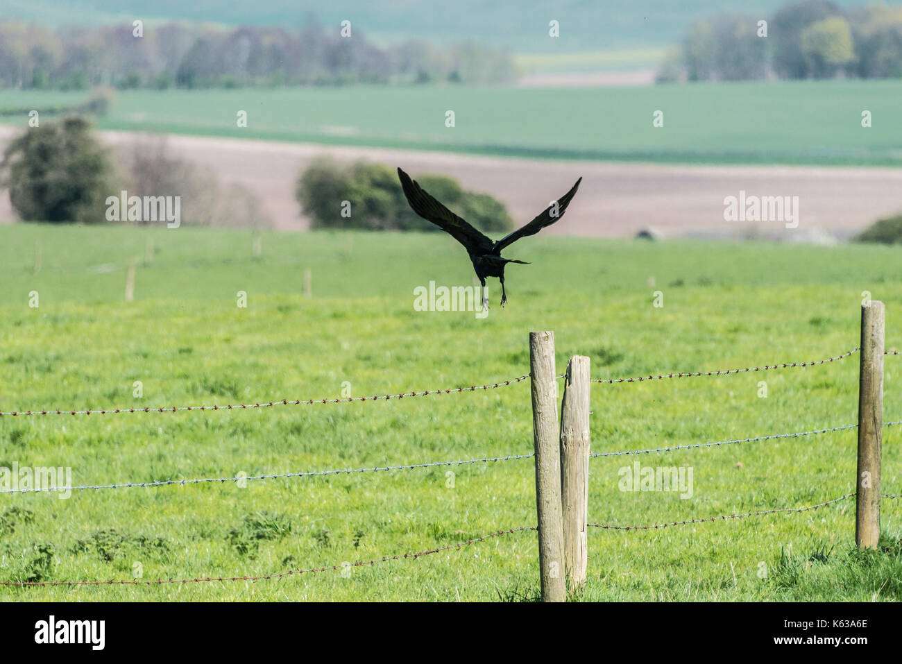 A carrion crow (Corvus corone) taking off from a fence post - Stock Image