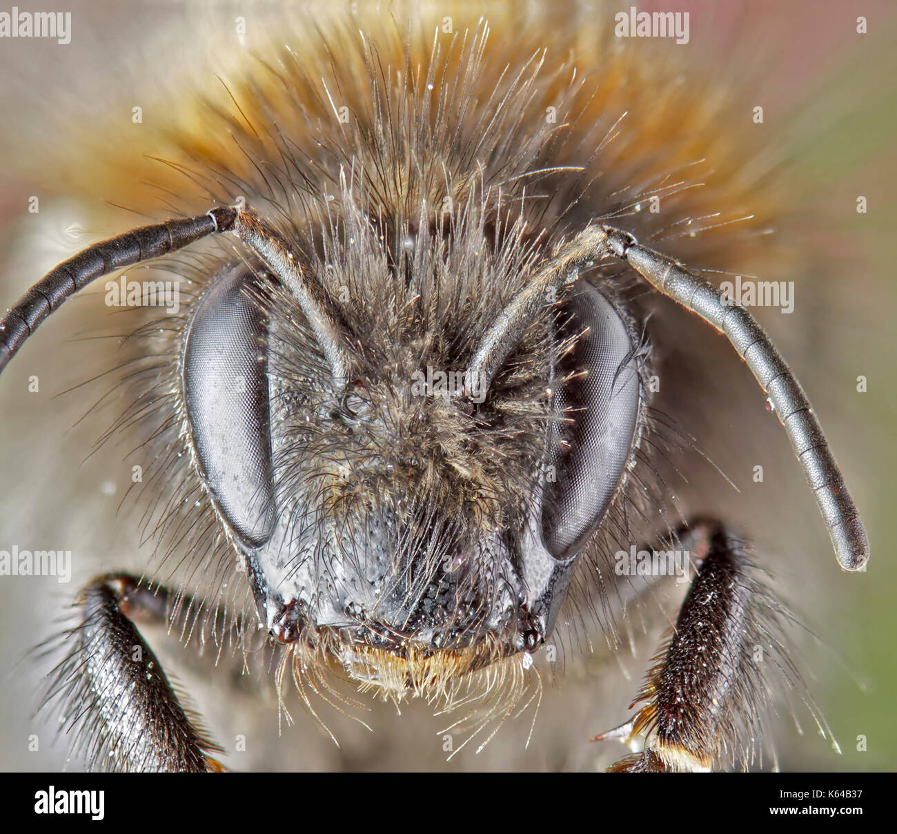 Super-macro of a bee - Stock Image