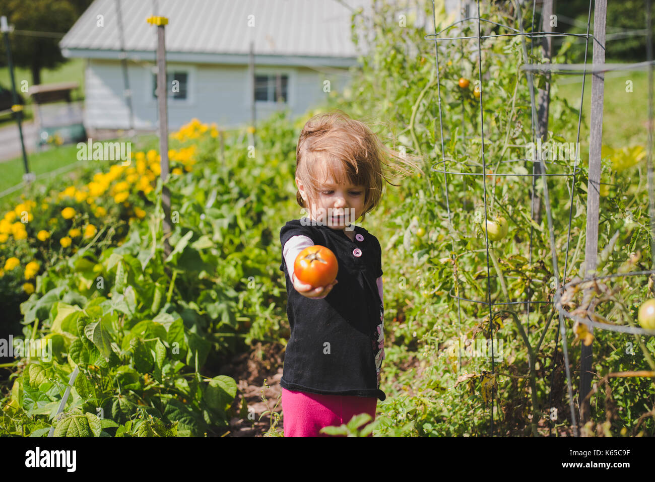 A young girl holds a tomato in her hand after picking it from the gardne. - Stock Image