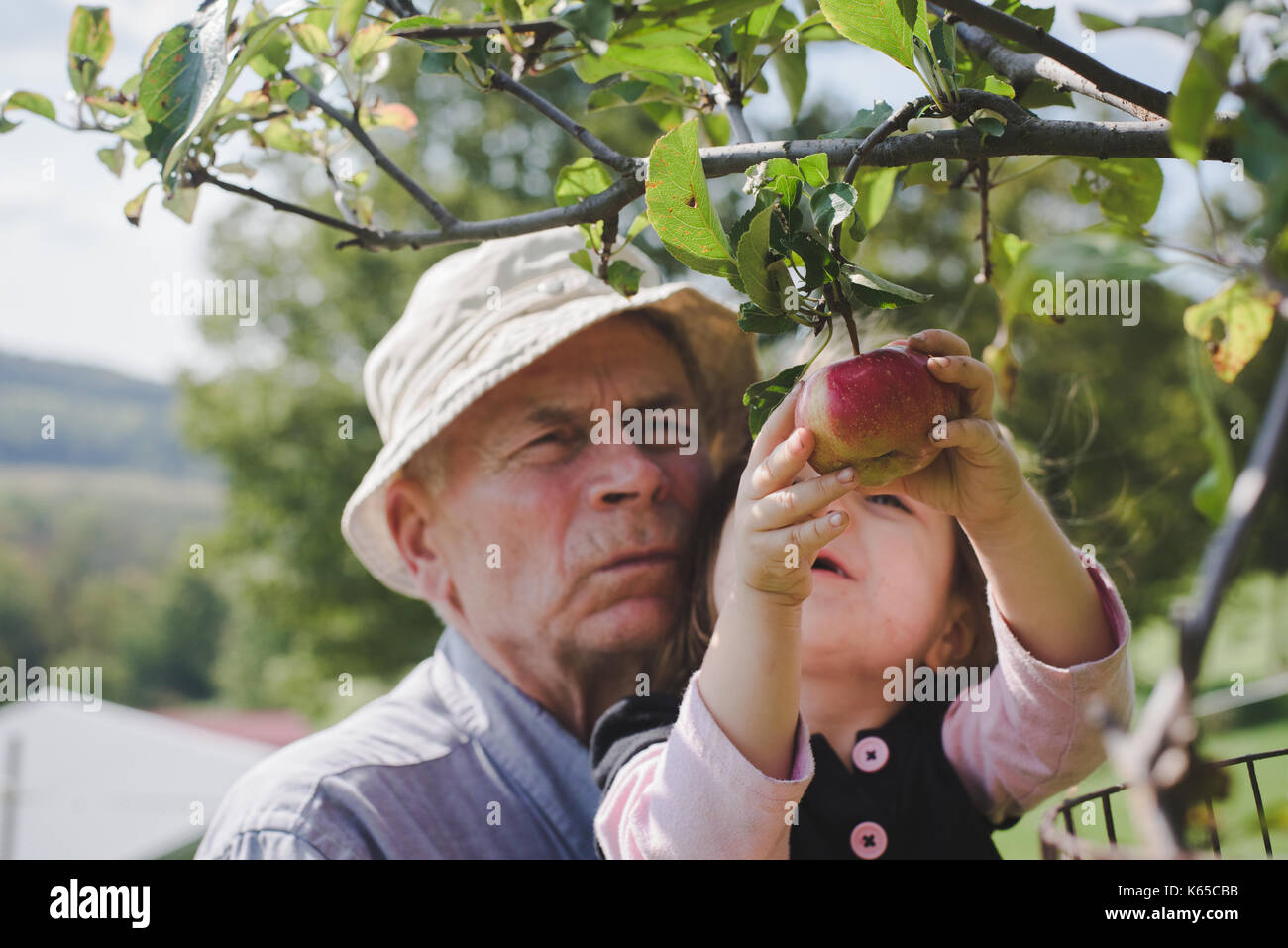 A grandfather helps his granddaughter pick an apple off a tree. - Stock Image