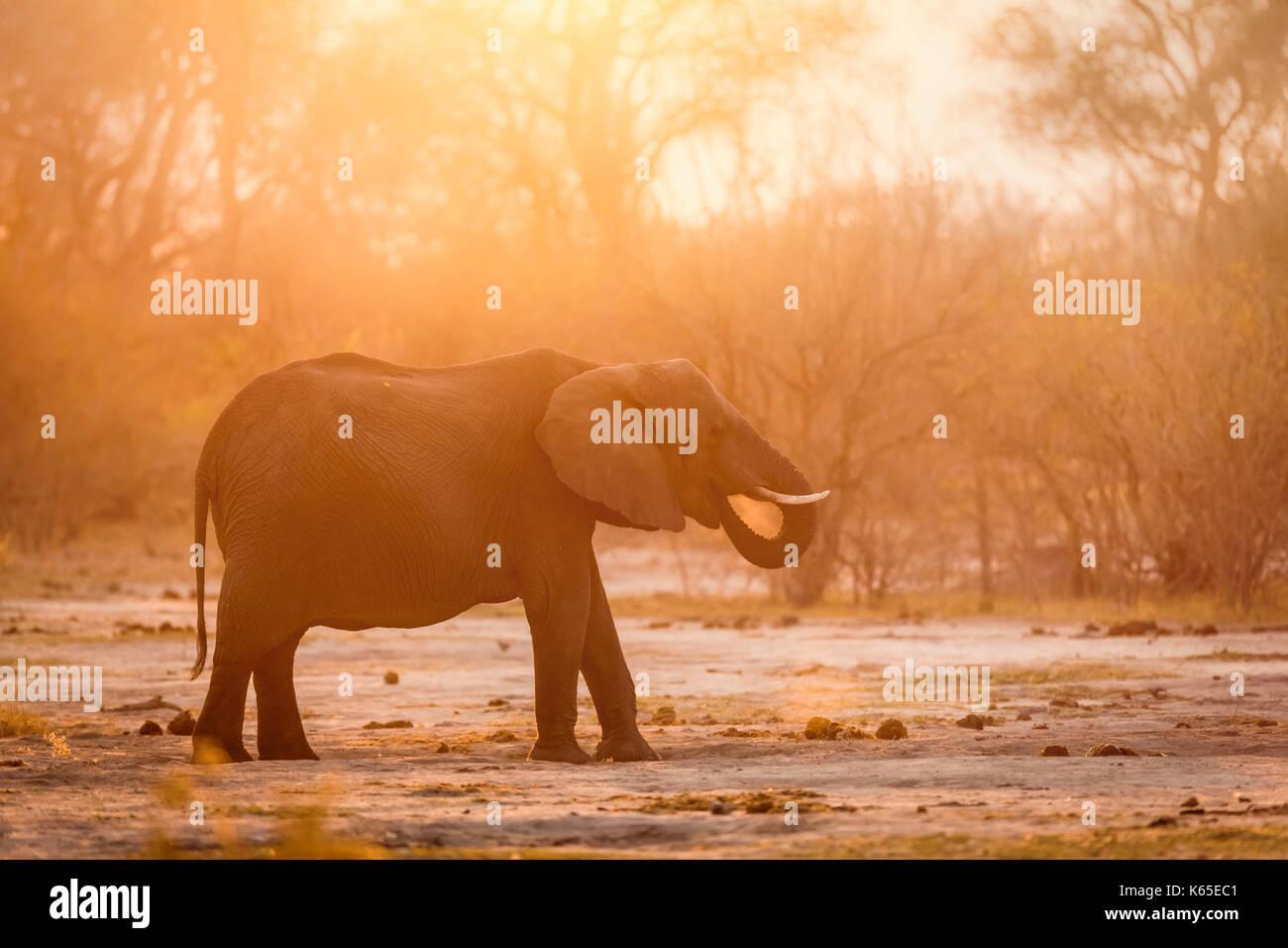 Elephant in dust , Kwai , Botswana, Okavango delta, - Stock Image
